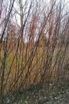 Blackskin willow