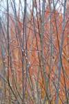 Blue Streak willow