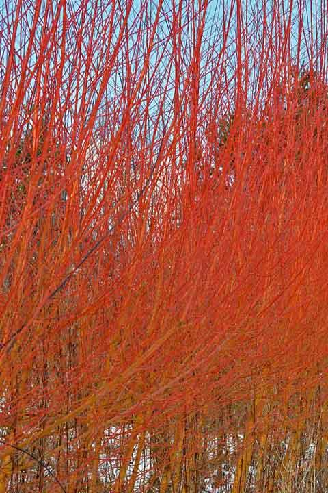 Britzensis willow