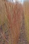 Dark Dicks willow