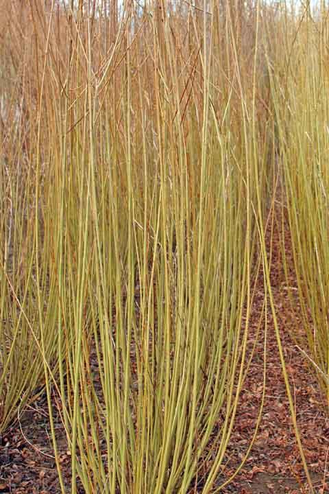Eugenii willow
