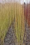 Green Dicks willow