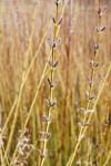 Koriyanagi Rubykins willow