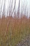 Polish Purple willow