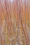 Purpurea X daphnoides willow