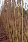 Noir de Touraine willow