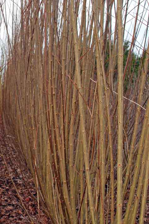Noir de Touraine willow