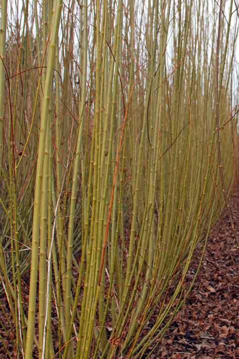 Whissender willow
