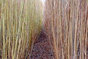 basketry willows salix triandra rows