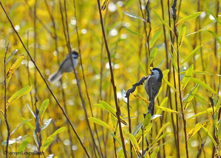 Black-capped Chickadees glean the basket willows for insects.