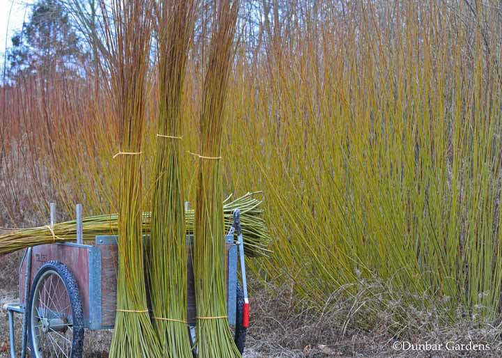 harvesting willow bundles
