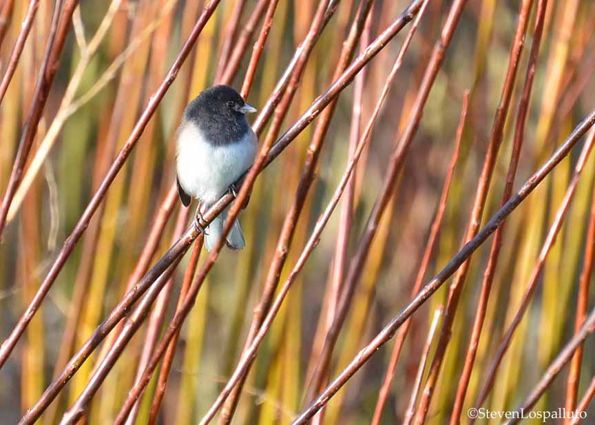 Dark-eyed Junco in the basketry willows