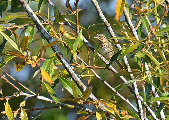 Lincoln's Sparrow in Salix daphnoides willow