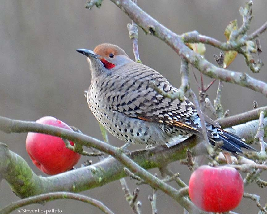 Northern Flicker eating apple in the orchard