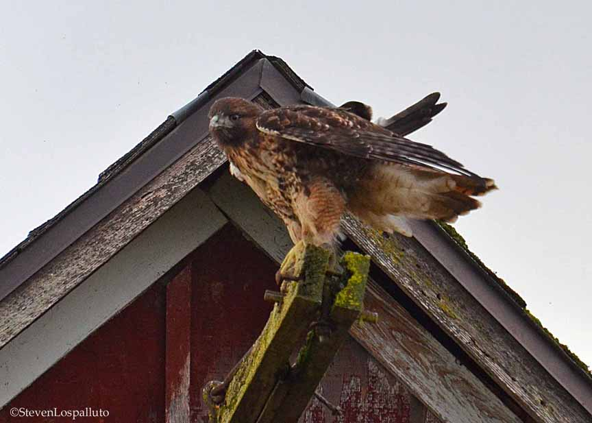 Red-tailed Hawk perched on the barn
