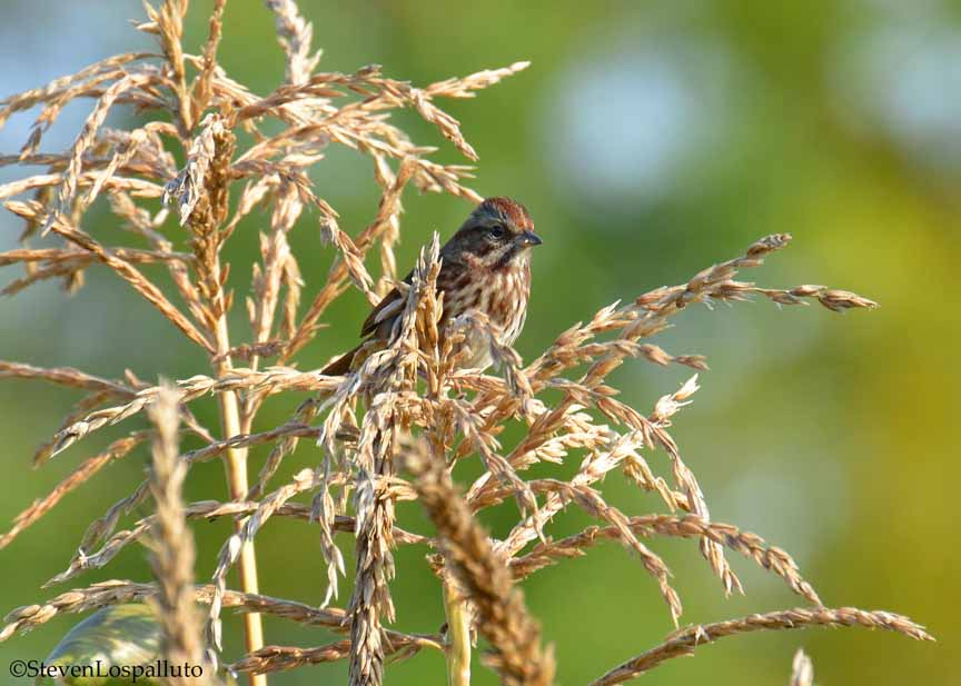 song sparrow in the corn patch