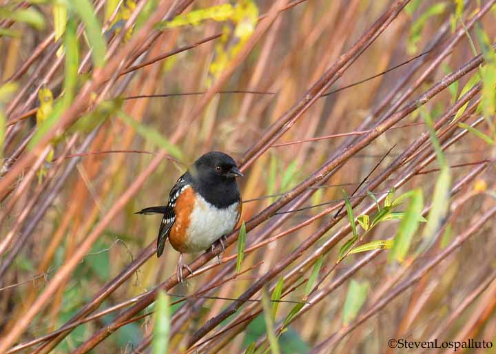 Spotted Towhee in the basket willows