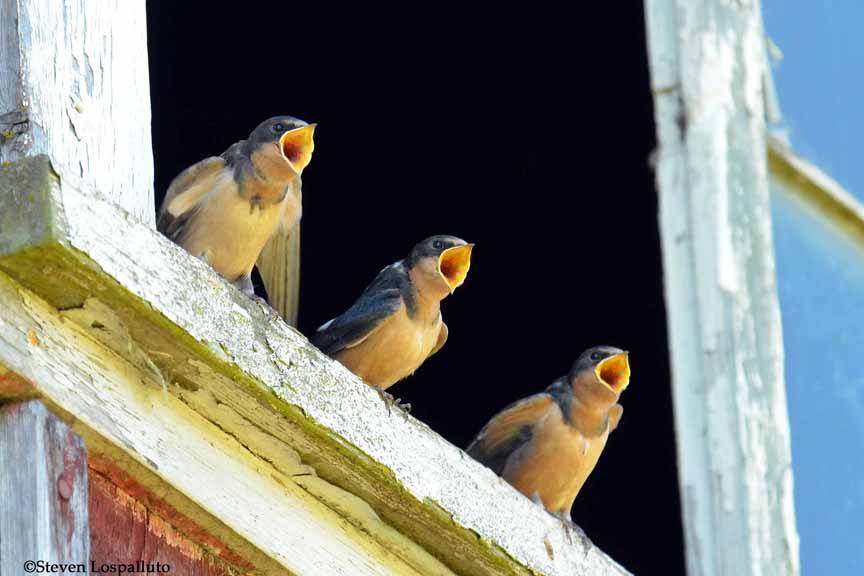 three barn swallows