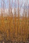Basfordiana Farndon willow