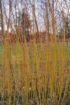 Jaune de Falaise willow