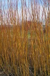 Natural Red willow
